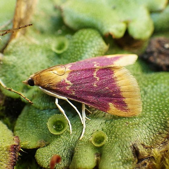 Crambidae: Pyrausta pythialis? - Pyrausta pythialis