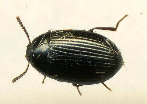Beetle - Platydema excavatum