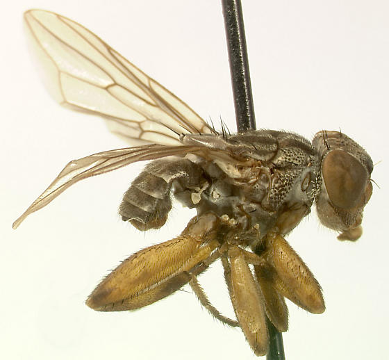 bizarre sap flow fly - Rhytidops floridensis - male