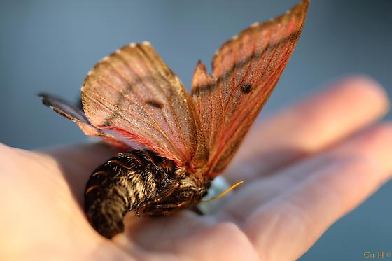 Pandora Moth  - Coloradia pandora - female