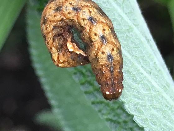 Unknown caterpillar - Hyppa xylinoides
