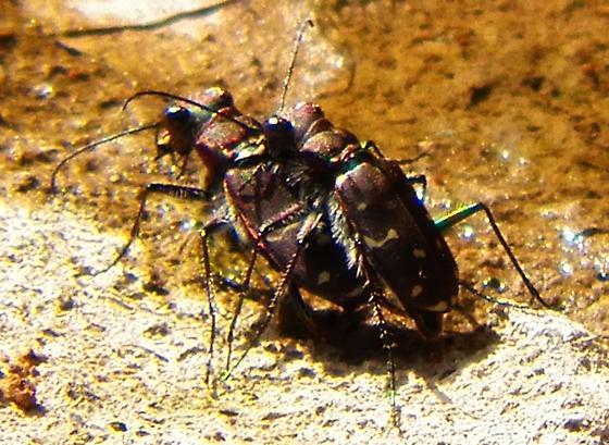 Twelve=spotted tiger beetle - Cicindela duodecimguttata - male - female