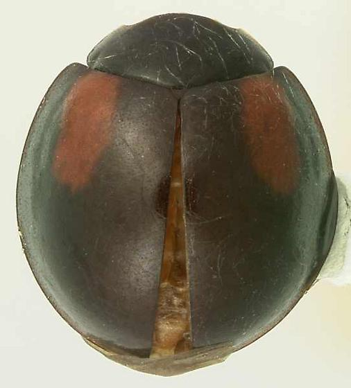 Arawana arizonica Casey - Arawana arizonica