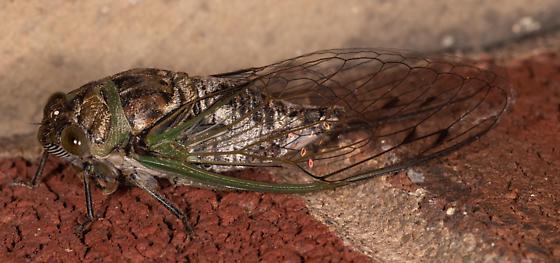 Neotibicen linnei? - female