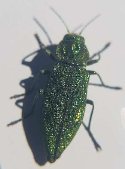 Reflective Green Borer Beetle - Trachykele blondeli