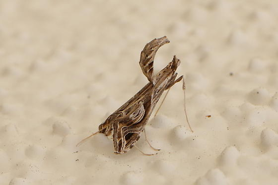 Not From This Planet - Lineodes integra