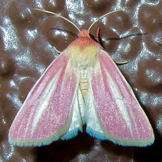 Heliocheilus julia