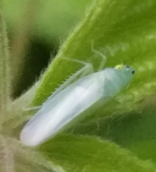 green hopper - Pagaronia minor