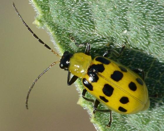 Cucumber Beetle? - Diabrotica undecimpunctata