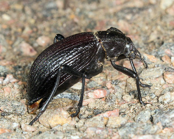 what beetle? - Philolithus