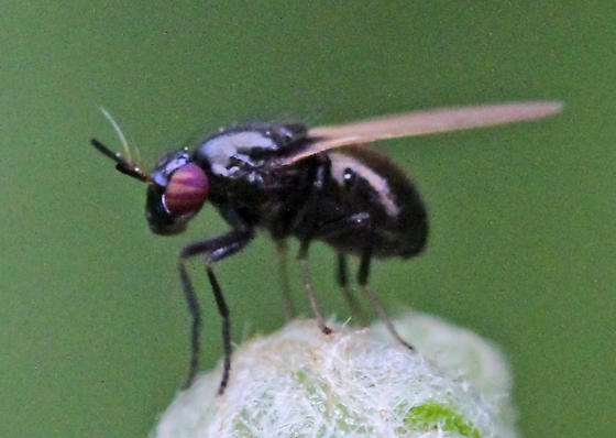 Unknown fly. Syrphidae, or something else? - Lauxania shewelli