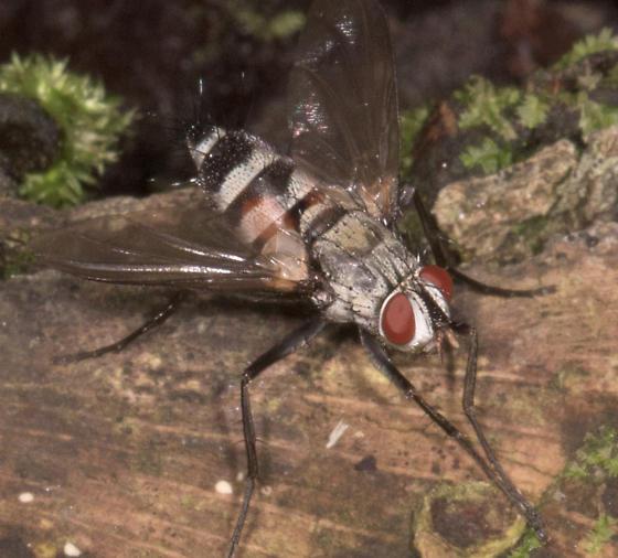 Black and White Fly - Zelia - female