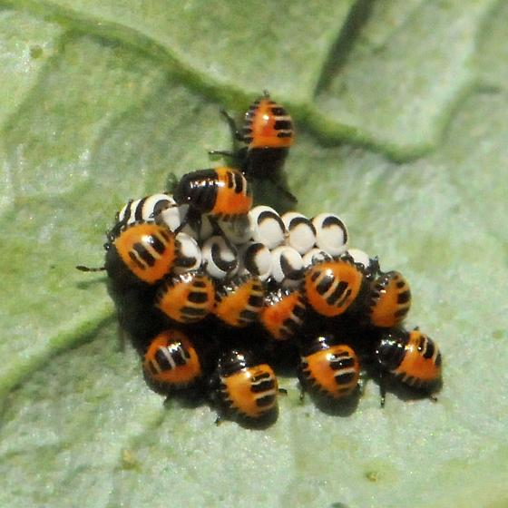 Harlequin Bug eggs and nymphs - Murgantia histrionica