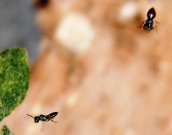 Tiny bees - Perdita cladothricis