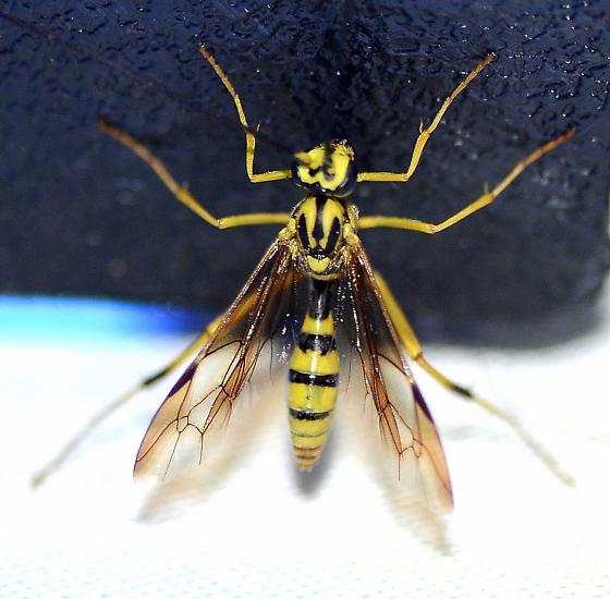 Ichneumonidae ? - Banchus