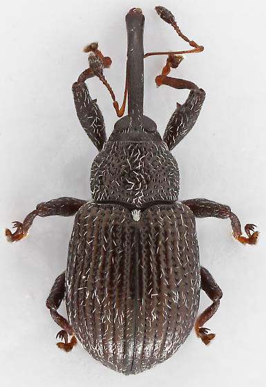 Weevil - Anthonomus