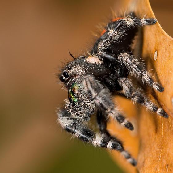 Subadult - Phidippus audax - female