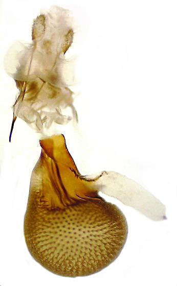 Eupithecia russeliata - Hodges#7526 - Eupithecia russeliata - female