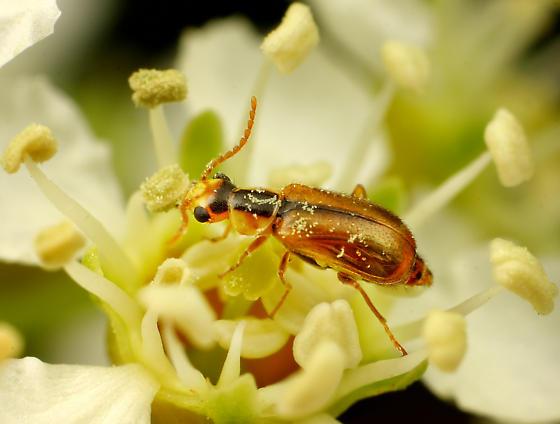 Coleoptera - Attalus scincetus