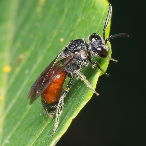 Sphecodes sp ? - Sphecodes heraclei - female