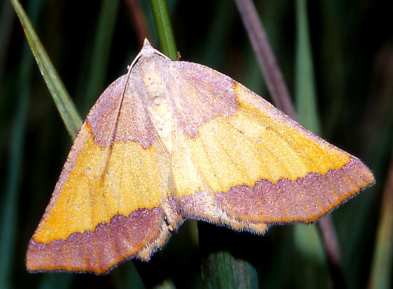 moth rose-brown & yellow - Lychnosea helveolaria