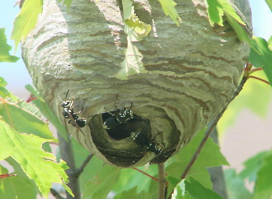 Wasps at nest - Dolichovespula maculata