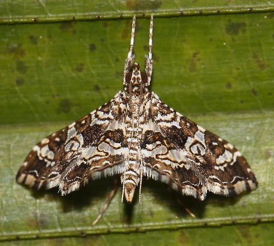 Moth, South Florida - Sisyracera inabsconsalis