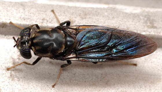 black soldier fly - Hermetia illucens - male
