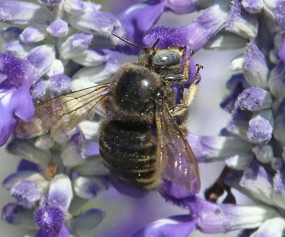 bee, big, blue-eyed - Xylocopa tabaniformis - male