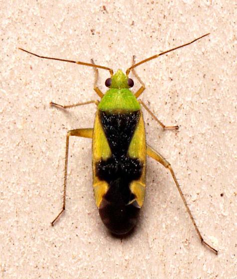Bug - Reuteroscopus ornatus