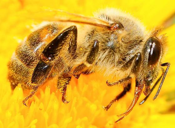 Apis mellifera - Western Honey Bee - Apis mellifera