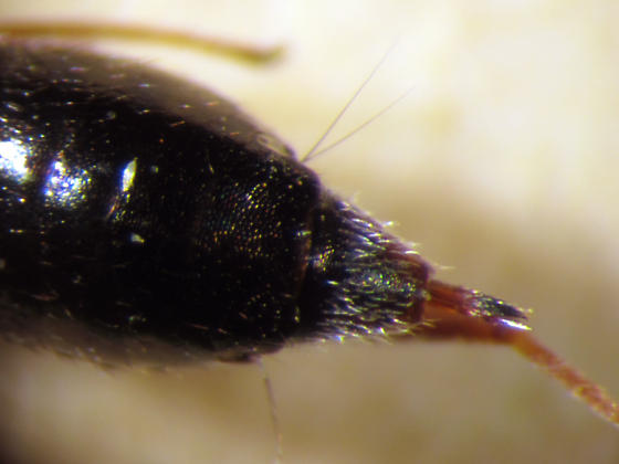 One of two eupelmids collected together - Brasema leucothysana - female