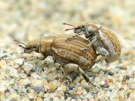 sand dune weevil - Philopedon plagiatum - male - female