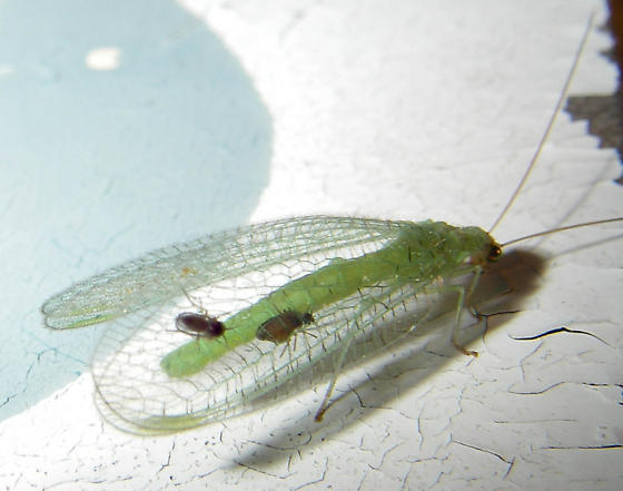 Phorid flies on lacewing? - Forcipomyia - female