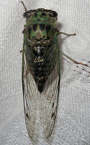 Dog-day Cicada - Neotibicen winnemanna