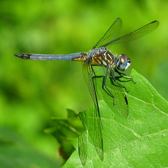Blue Dasher - Pachydiplax longipennis - male
