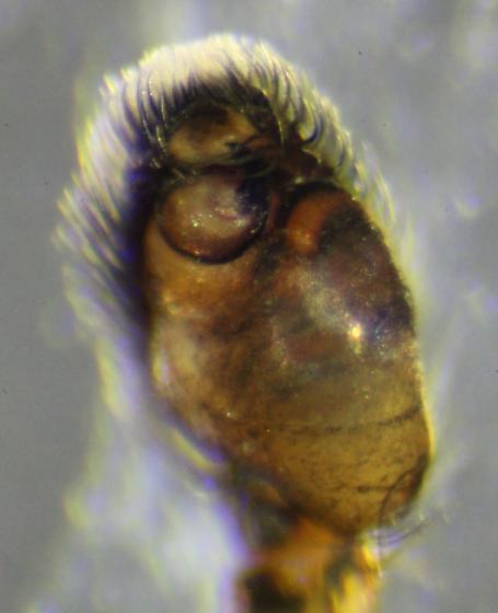 Naphrys pulex--voucher image - Naphrys pulex - male
