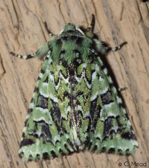 Feralia comstocki – Comstock's Sallow Moth Hodges#10008 - Feralia jocosa
