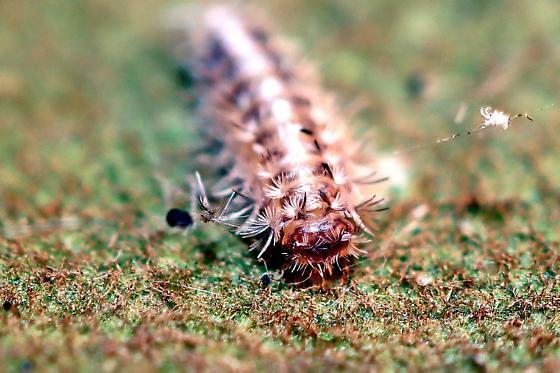 Caterpillar? - Polyxenus