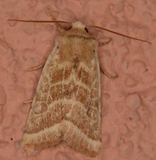 Unidentified moth - Hypotrix trifascia