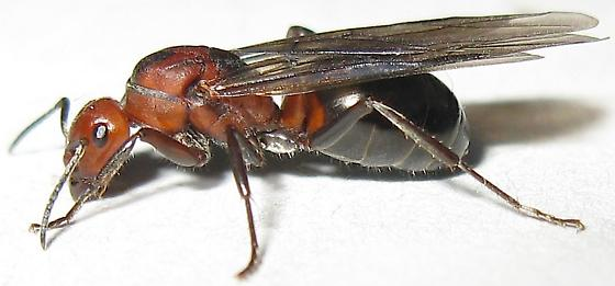 Queen Ant - Formica - female