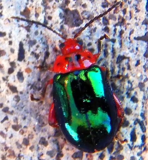 Small green bug ID - Kuschelina gibbitarsa