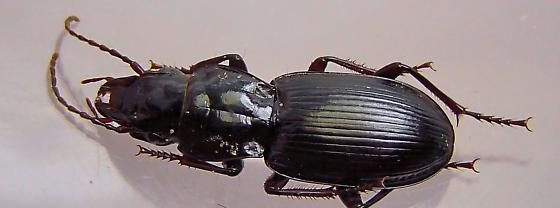 Beetle - Pterostichus acutipes