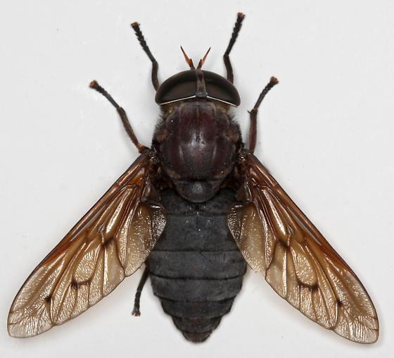 BG1727 E2253 - Tabanus proximus - female