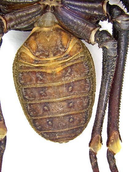 Paraphrynus mexicanus? - Paraphrynus carolynae