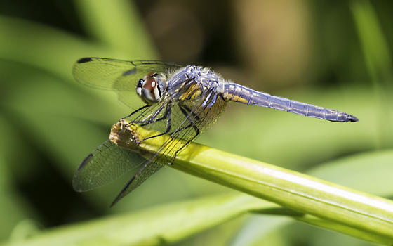 blue dasher dragonfly with red eyes - Pachydiplax longipennis - male