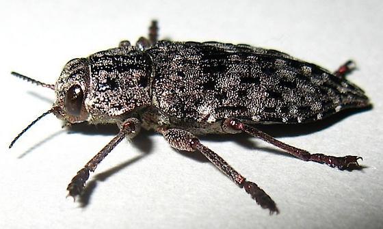Metallic Wood-boring Beetle - Dicerca crassicollis