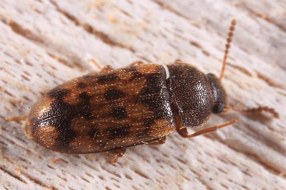 small beetle - Mycetophagus pluripunctatus