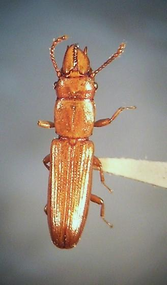 Prostomidae - Prostomis mandibularis - Prostomis americanus