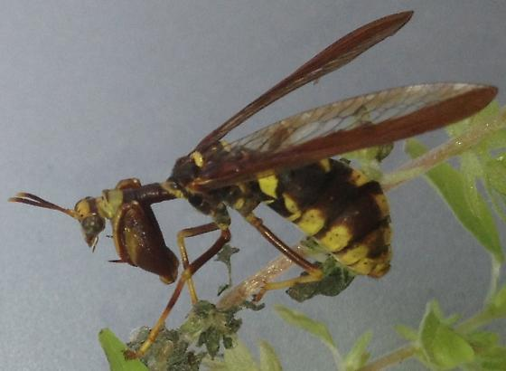 mantid wasp? - Climaciella brunnea